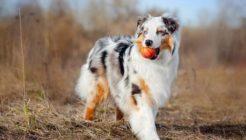 Köpek Tercihi Yapmada Karakter Etkeni