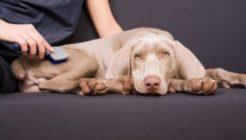 Köpeklerde Tüy Bakımı