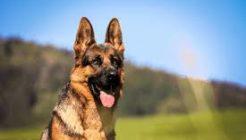 Alman Çoban Köpeği Hakkında Özellikleri Nedir? Eğitimi Bakımı Nasıl Olmalıdır?