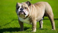 Bulldog Hakkında