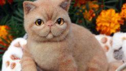 Exotic Shorthair Cinsi Kedilerin Özellikleri ve Bakımı