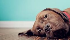Köpeklerde Ağız Yaralanmaları ve Romatizma