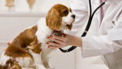 Köpeklerde Alerjik Bronşit