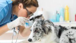 Köpek Kulak Bakımı ve Temizliği