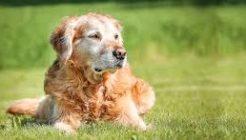 Köpeklerde TVT Hastalığının Teşhis ve Tedavisi Nedir?
