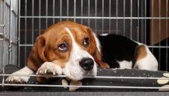 Köpeklerde Anöstrüs Problemi