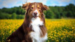 Köpeklerde Aspirasyon Pnömonisi