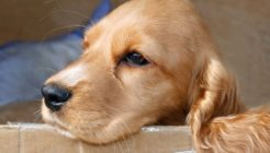 Köpeklerde Burun Kanaması