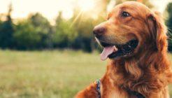 Köpeklerde Dış Parazit Belirtileri Ve Tedavisi