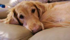 Köpeklerde Epilepsi Hastalığı Belirtileri