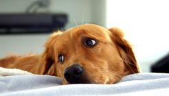 Köpeklerde Gebelik Ve Doğum Süreci