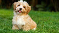Köpeklerde Karın Şişliğinin Nedenleri