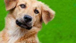 Köpeklerde Karaciğer Kanseri