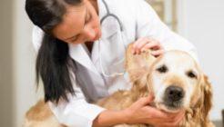 Köpeklerde Leishmania Hastalığı