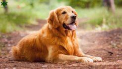 Köpeklerde Othermatom Ve Tedavisi