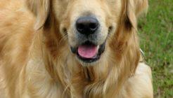 Köpeklerde Otitis Externa