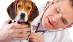Köpeklerde Pyoderma Nedenleri Ve Tedavisi