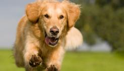Köpeklerde Rahim İltihabı