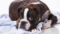 Köpeklerde Tümör Çeşitleri, İnsana Bulaşır mı?