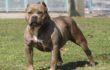 Pitbull Nasıl Bir Köpekdir Özellikleri Neler