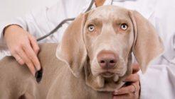 Köpeklerde Egzama Belirtileri Nelerdir?