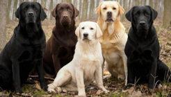 Labrador Retriever Hakkında Özellikler Nedir? Eğitim ve Bakımı Nasıl Olmalıdır?