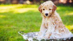 Yavru Köpekler Nasıl Yıkanır?