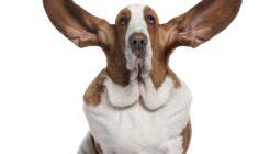 Köpeklerde Kulak Kontrolü ve Bakımı