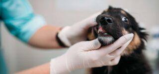Köpeklerde Ağız ve Diş Sorunları ile Bakımı