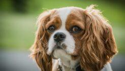 Charles King Köpek Cinsi Özellikleri ve Bakımı