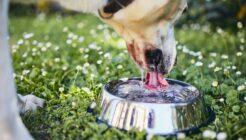 Köpeğim Neden Su İçmiyor?