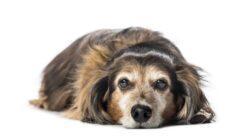 Köpekler Kaç Sene Yaşar? Irklarına Göre Ortalama Yaşam Süreleri Kaçtır?