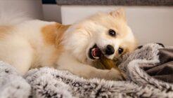 Köpekler İçin Tehlikeli Olan Yiyecekler Hangileri?