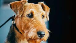 Airedale Terrier Köpek Irkı Kökeni, Bakımı ve Özellikleri