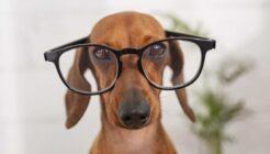 Köpek Irklarında Zeka (IQ) Sıralaması Nasıldır?