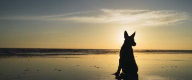 Köpeklerde Gebelik Belirtileri Nelerdir?