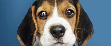 Köpeklerde Göz Temizliği Yaparken Dikkat Edilmesi Gerekenler
