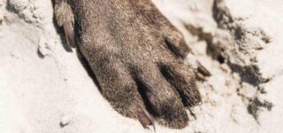 Nesli Tükenmiş Olan Köpek Irkları ve Özellikleri