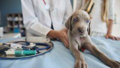 Köpeklerde Fıtık Nedenleri, Belirtileri, Teşhis ve Tedavisi