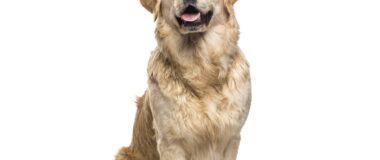 Köpeklerde Bağışıklık Sistemi