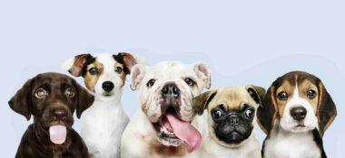 Köpeklerde Pire ve Bitlenme Nasıl Geçer?