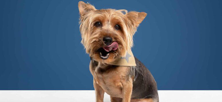 Yorkshire Terrier Köpek Irkı ve Genel Özellikleri